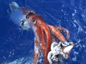 what is a giant squid